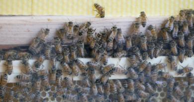 """2 000 abeilles ont rejoint l'école maternelle Jacques Prévert à Schiltigheim, près de Strasbourg, au sein d'une """"ruche pédagogique"""". (Photo BH - Les Défricheurs)"""